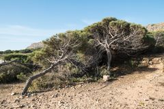 Windswept pine trees. Blown by the winds from the ocean stock image