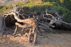 Windswept pine trees. On  Mediterranean coastal dunes Royalty Free Stock Image