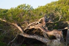 Windswept pine trees. On  Mediterranean coastal dunes Stock Photos