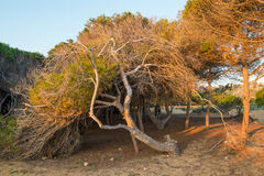 Windswept pine trees. On  Mediterranean coastal dunes Stock Image