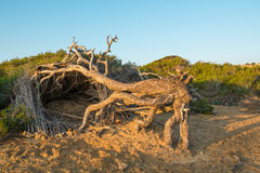 Windswept pine trees Royalty Free Stock Images