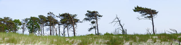 Windswept pines at a dune area Stock Photography