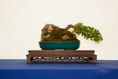 A windswept root over rock style hawthorn bonsai on a beautiful display table on show in Belfast Northern Ireland. A windswept root over rock style hawthorn Royalty Free Stock Photo