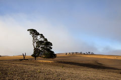Windswept träd Arkivbilder