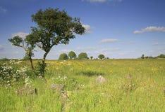 Windswept träd i ett fält Arkivbild
