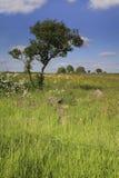 Windswept träd i ett fält Arkivfoto