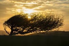 Windswept träd på kant med solnedgång Arkivfoto
