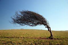 Windswept Tree. A windswept tree on the cliffs on the south coast of England royalty free stock photos