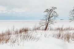 Windswept tree grows on the seashore. A windswept tree grows on the seashore in Oulu, Northern Finland stock photos