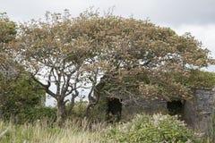 Windswept Tree, Inishmore; Aran Islands Royalty Free Stock Image