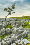 Windswept Tree With Interesting Limestone Rocks In Foreground. Interesting shaped tree at Twistleton scar limestone pavements on a beautiful summer's day with Stock Image