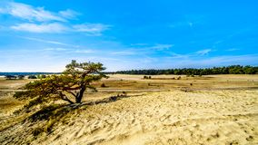 A windswept tree in the mini desert Beekhuizerzand in the Hoge Veluwe nature reserve. Under blue sky. In the province of Gelderland, the Netherlands stock photography