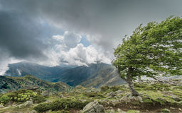 A windswept tree on a mountain ridge on the GR20 in Corsica Stock Photo