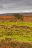 Windswept tree Royalty Free Stock Images