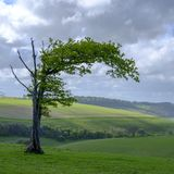 Windswept tree on the South Downs National Park, UK. Clanfield, UK - April 26, 2019:  A windswept oak tree on the South Downs starting to come into leaf with royalty free stock image