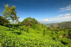 Windswept tree in tea plantation Stock Photo