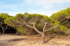 Windswept trees Royalty Free Stock Photography