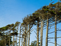 Windswept Trees Royalty Free Stock Images