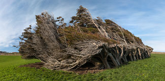 Windswept trees, The Catlins, New Zealand. Panoramic view of windswept trees at Slope Point, The Catlins, New Zealand stock image