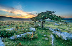 Windswept Trees on Dartmoor Royalty Free Stock Photography