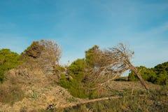 Windswept trees Stock Photos
