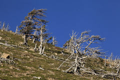 Windswept Trees on a Mountain Slope Stock Photos