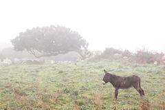 Windswept tress in the fog. Windswept trees in the fog with a brown donkey in Sardinia, Italy royalty free stock images