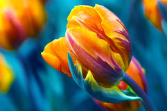 Windswept tulip Royalty Free Stock Images