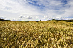 Windswept Wheatfields. Open fields and rolling hills along the North East English coastline stock images