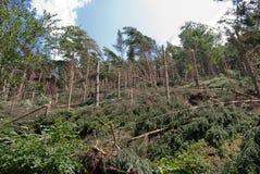 Windthrow van bomen in een bergachtig naaldbos Royalty-vrije Stock Foto's