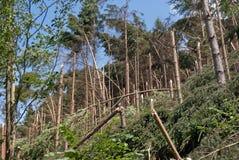 Windthrow van bomen in een bergachtig naaldbos Royalty-vrije Stock Foto