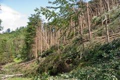 Windthrow van bomen in een bergachtig naaldbos Royalty-vrije Stock Afbeeldingen