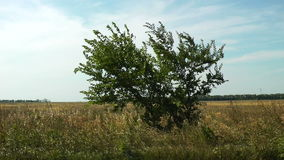 Windy alone tree stock footage