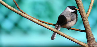 Windy Chickadee Stock Foto's