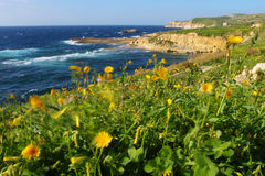 Windy coast. Spring meadow with yellow blooms on the seashore Stock Images