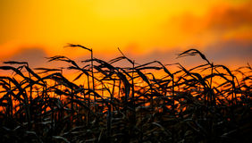 Windy Corn bei Sonnenuntergang Stockfotos