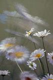 Windy day. White dasies on windy day Royalty Free Stock Photo