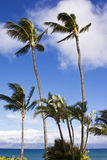 Windy Day. Palm trees swaying on a very windy day Royalty Free Stock Images