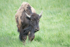 Windy Day. An adult bison in a field at Yellowstone National Park. I was able to get many pictures of bison while I was there Royalty Free Stock Photography