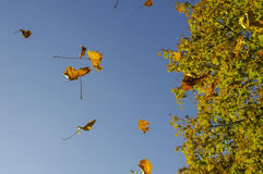 A windy day in autumn - maple leaves flying in the wind with a tree in the background. Yellow and orange leaves of autumn colors flying in the air with a maple royalty free stock photography
