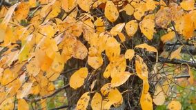 Windy day, blowing orange & yellow colorful tree leaves stock video footage