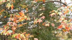 Windy day, blowing red, orange & yellow colorful maple tree leaves stock footage