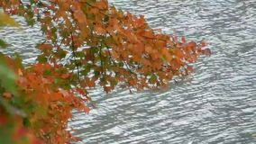 Windy day, blowing red, orange & yellow colorful maple tree leaves over lake stock video