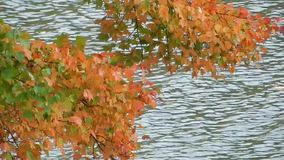 Windy day, blowing red, orange & yellow colorful maple tree leaves over lake stock footage