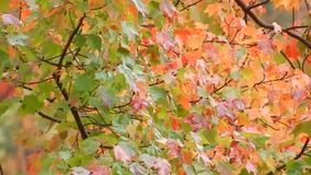 Windy day, blowing red, orange & yellow colorful tree leaves stock video footage