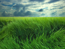 Windy day in the field Royalty Free Stock Photo