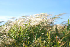 Windy Day Grass. Grass moving by the wind on a sunny day Royalty Free Stock Images