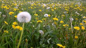 Windy day in meadow with dandelions after blossoms. stock video