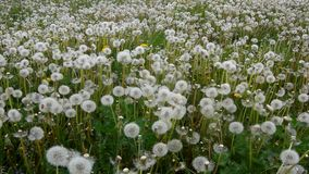 Windy day in meadow with dandelions after blossoms. stock footage