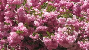 Windy Day Pink Kwanzan Cherry-Blüten stock video footage